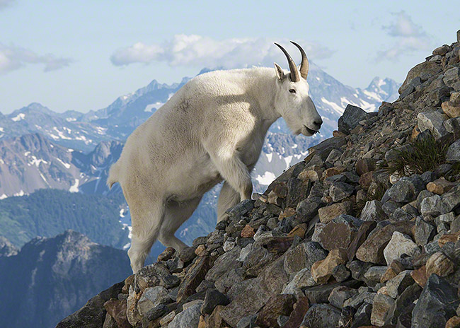 Mountain goat, Sahale Peak, North Cascades National Park, Washington.