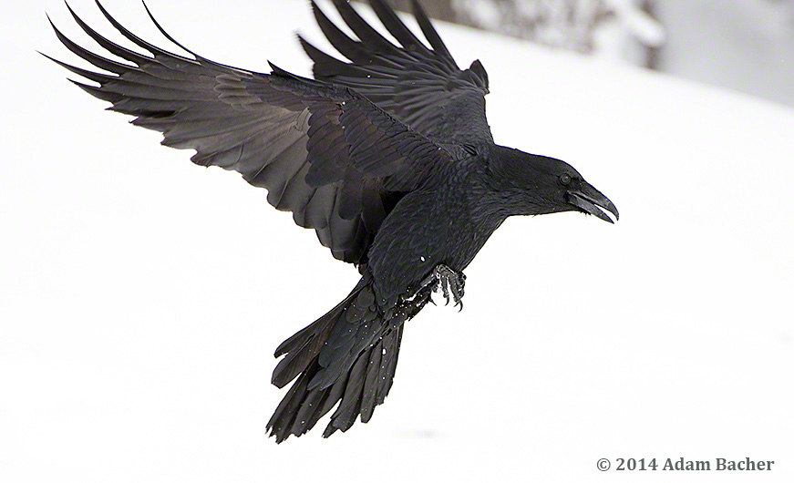 Raven flying in winter
