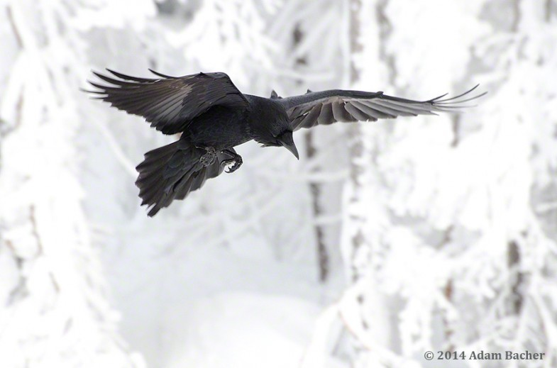 Raven flying in snowy forest