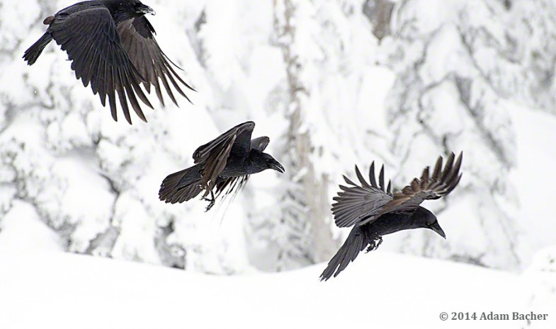 Three ravens flying in snowy forest