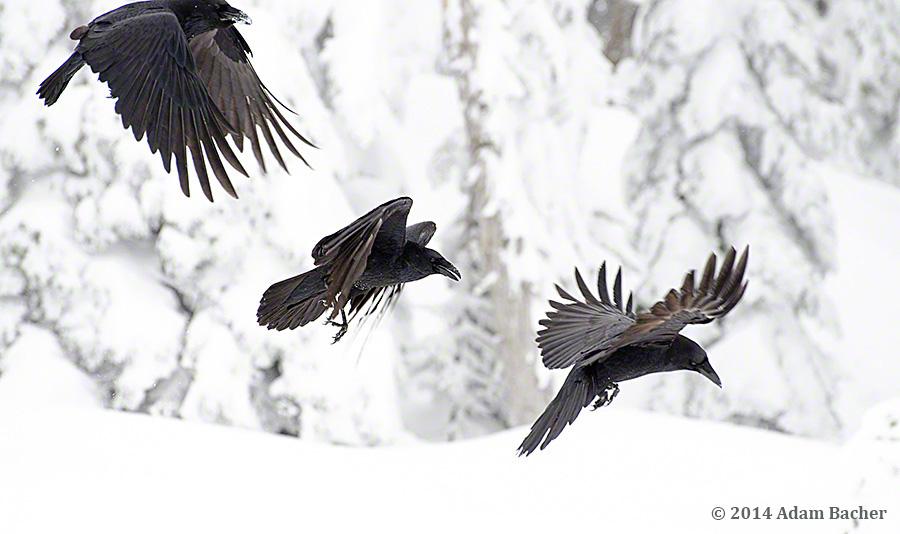 Ravens flying wallpaper - photo#22