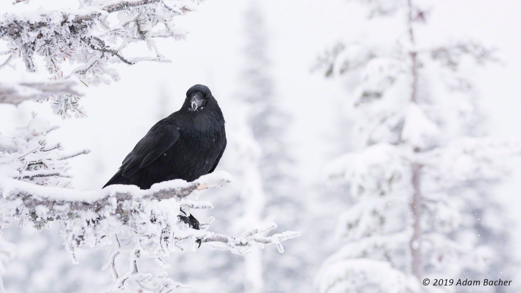 raven on snowy branch in forest